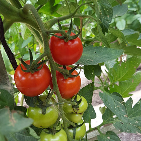 The Italian love affair with the garden fresh tomato! (recipe)